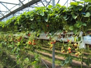 Erdbeeranbau in Malones Fruchthof